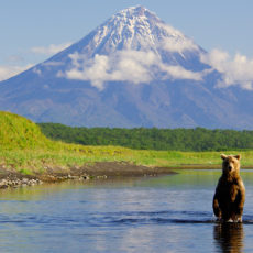 A bear stands while fishing for salmon in Tikhaya River. Kronotsky Volcano is in the background/nKronotsky Zapovednikvolcano; wildlife; Kronotsky Zapovednik; Kamchatka; Brown bear