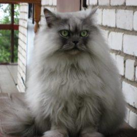 Кошка персидская