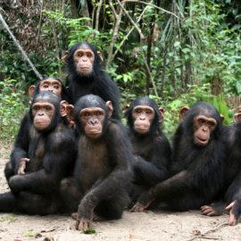 Orphan chimps at the JGI Tchimpounga Chimpanzee Rehabilitation Center in the Republic of the Congo